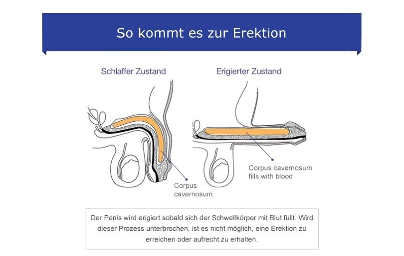 Die Erektion durch sexuelle Erregung
